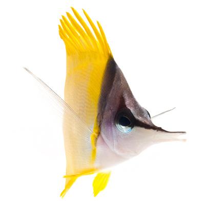 Meerwasseraquaristik Bild Pinzettfisch