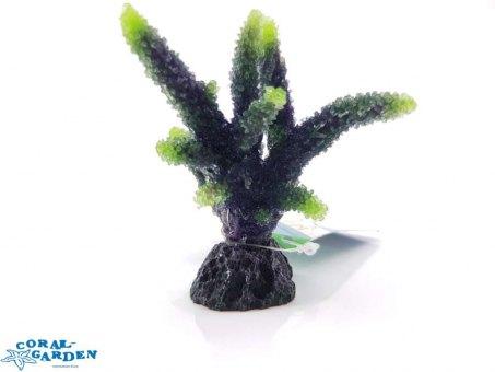 Acropora sp. | Geweihkoralle grün