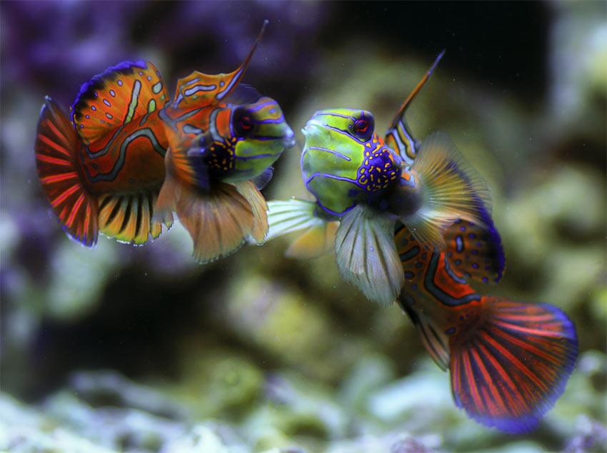 Bild von einem Pärchen Mandarinfische bei der Balz im Aquarium
