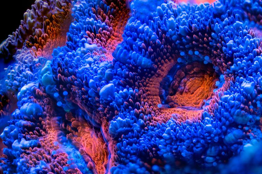 Bild von einer extrem farbigen Lord Acanthastrea LPS Koralle im Meerwasseraquarium