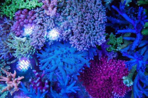 Bild Korallenwachstum im Meerwasseraquarium mit Triton Methode